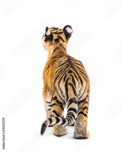Back view of a two months old tiger cub standing, isolated on white