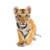 Fototapeta Zwierzęta - Two months old tiger cub walking against white background