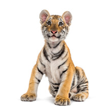 Two Months Old Tiger Cub Sitti...