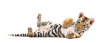 Two Months Old Tiger Cub Lying...
