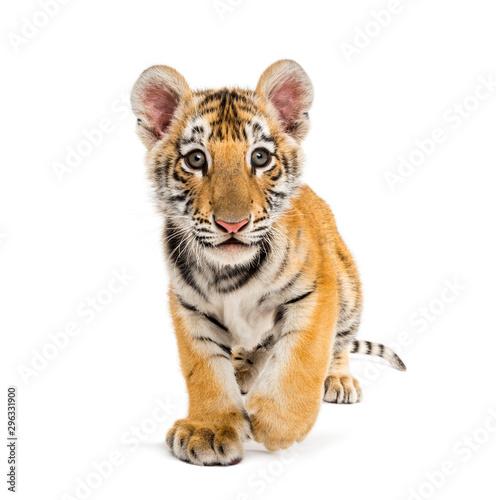 Obraz na plátně Two months old tiger cub walking against white background