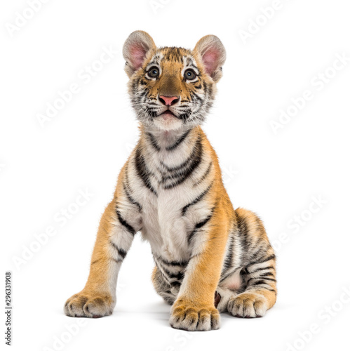 Photo sur Toile Tigre Two months old tiger cub sitting against white background
