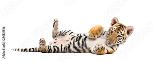 Papiers peints Tigre Two months old tiger cub lying against white background