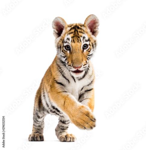 Fotobehang Tijger Two months old tiger cub walking against white background