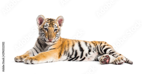 Photo sur Toile Tigre Two months old tiger cub lying against white background