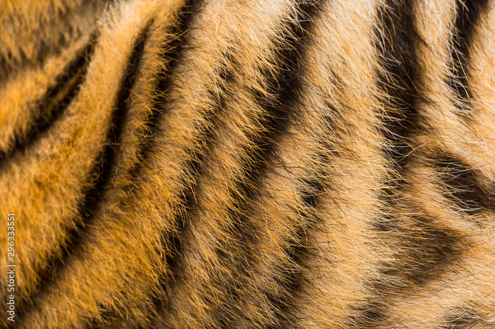 Fototapeta Close up of two months old tiger cubs fur