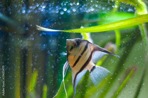 Zebra Angelfish in tank fish Wallpaper Mural