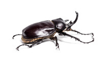 Actaeon Beetle, Megasoma Actaeon, A Rhinoceros Beetle