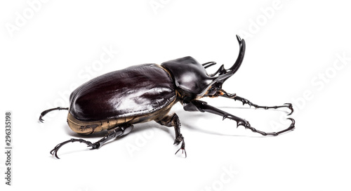 Foto Actaeon beetle, Megasoma actaeon, a rhinoceros beetle