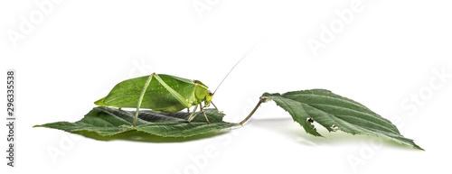Giant katydid, Stilpnochlora couloniana, on leaf Canvas Print