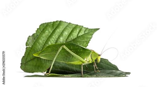 Photo  Giant katydid, Stilpnochlora couloniana, on leaf