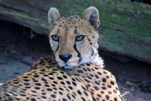 Cheetah Acinonyx Jubatus Lying Down Head Close Up  Portrait