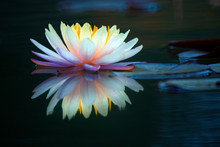 Blooming Lotus Flower Or Water...