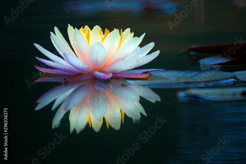 Poster de jardin Nénuphars Blooming lotus flower or water lily in the pond