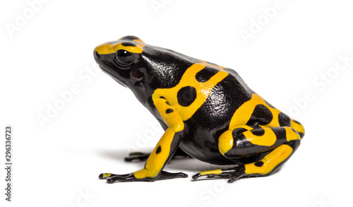 Photo Yellow-banded poison dart frog, Dendrobates leucomelas