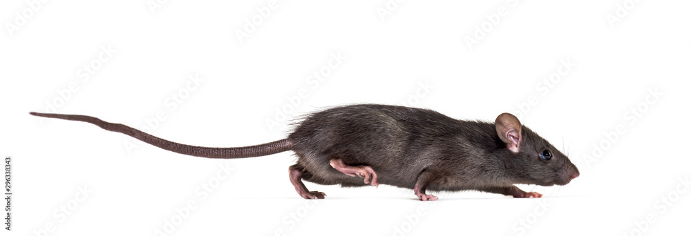 Fototapeta Black rat, Rattus rattus, in front of white background