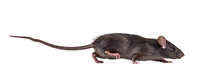 Black Rat, Rattus Rattus, In F...
