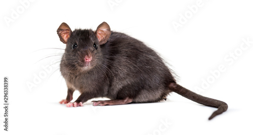 Foto Black rat, Rattus rattus, in front of white background