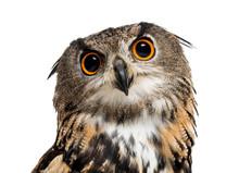 Eurasian Eagle-owl, Bubo Bubo,...