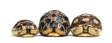 Radiated Tortoise, Leopard Tortoise And African Spurred Tortoise