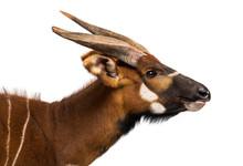 Bongo, Antelope, Tragelaphus E...