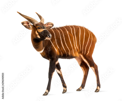Photo Bongo, antelope, Tragelaphus eurycerus standing, isolated