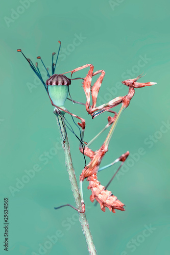 Photo sur Aluminium Papillon Close up of pair of Beautiful European mantis ( Mantis religiosa )