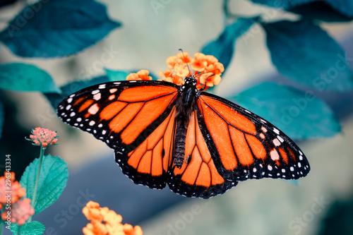 Fényképezés Monarch, Danaus plexippus is a milkweed butterfly (subfamily Danainae) in the fa