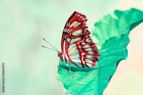 Deurstickers Vlinder Closeup Malachite (siproeta stelenes) beautiful butterfly in a summer garden