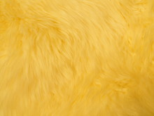 Closeup Golden, Yellow Fluffy Fur Sheep Wool. Material For Designers.