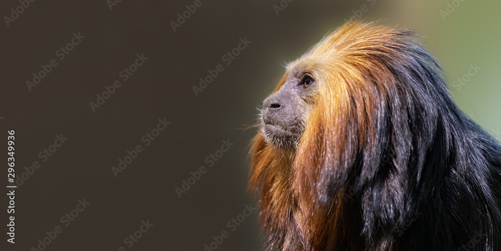 Close up of a Golden-headed lion tamarin (Leontopithecus chrysomelas) with copy space