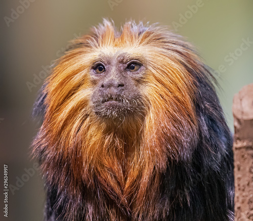 Papiers peints Singe Close up of a Golden-headed lion tamarin (Leontopithecus chrysomelas)