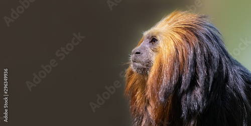 Papiers peints Singe Close up of a Golden-headed lion tamarin (Leontopithecus chrysomelas) with copy space