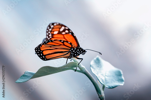 Monarch, Danaus plexippus is a milkweed butterfly (subfamily Danainae) in the family Nymphalidae