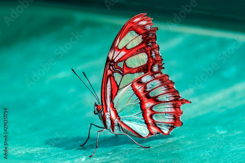 Closeup Malachite (siproeta stelenes) beautiful butterfly in a summer garden