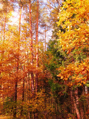 Fototapetaautumn landscape forest with yellow red leaves with sunny light beams
