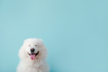 Cute Samoyed dog on color background