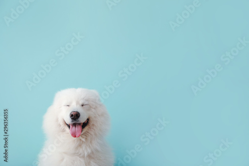Valokuvatapetti Cute Samoyed dog on color background