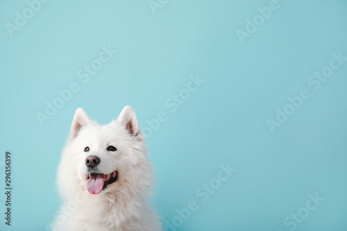Photo sur Toile Chien Cute Samoyed dog on color background