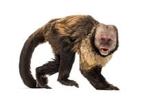 Golden-Bellied Capuchin, Sapaj...