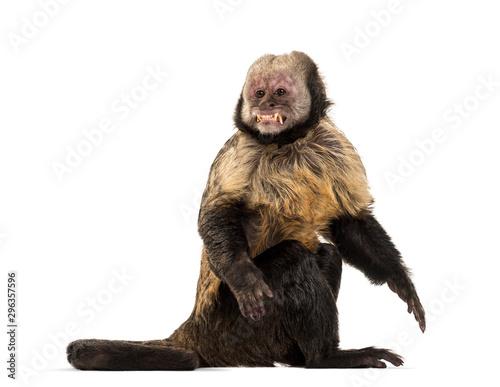 Golden-Bellied Capuchin, Sapajus xanthosternos Fototapeta