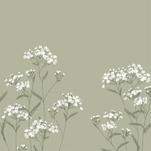 Achillea Millefolium. White,...