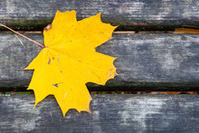 Yellow Maple Leaf On Wet Gray ...
