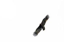 Schreiadler (Clanga Pomarina)  Im Nationalpark Biebrza, Polen - Lesser Spotted Eagle In Biebrza National Park, Poland