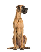 Great Dane Sitting Against Whi...