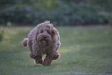 Red Cockapoo Puppy Running On ...