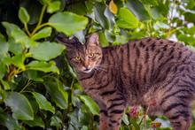 Tabby Cat In An Apple Tree