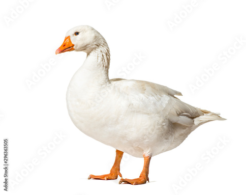 Tablou Canvas Domestic goose standing against white background
