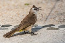 Bird Common Bulbul (Pycnonotus Barbatus)