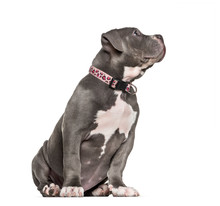 Young American Bully Sitting A...